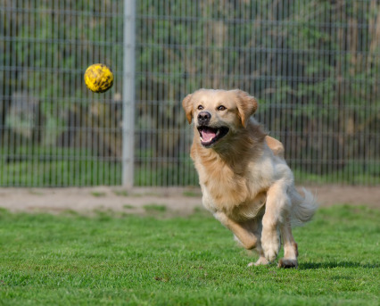 golden-retriever-750592_960_720