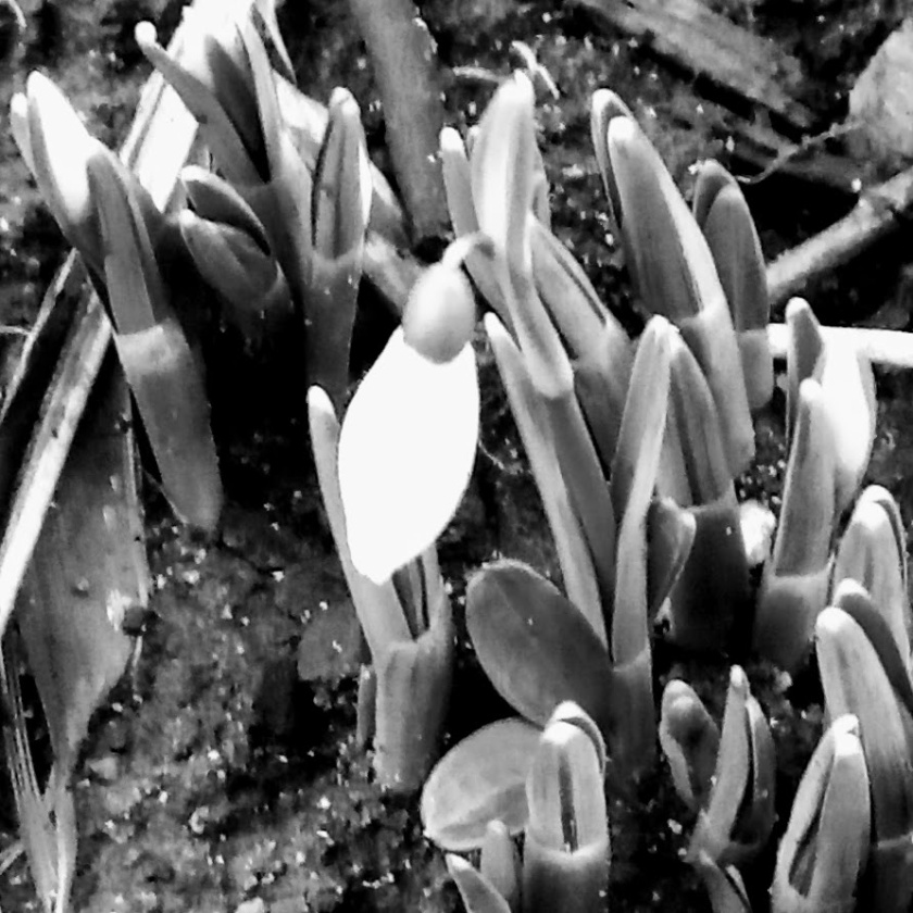 b and w snowdrop