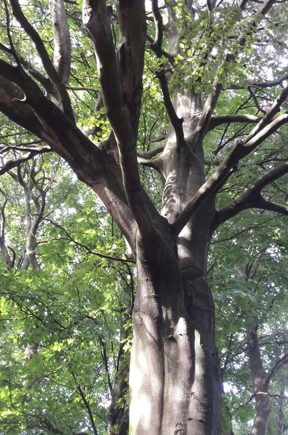 Beech Tree with spreading limbs, in summer