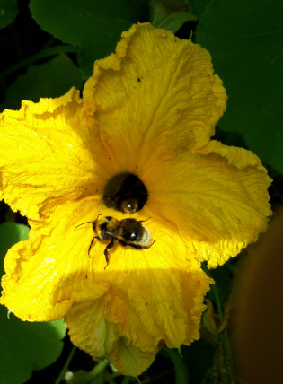 bumblebee-on-pumpkin-flower1-e1515588653165.jpg